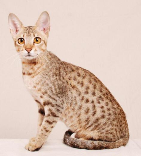 Hypoallergenic Cat from Allerca