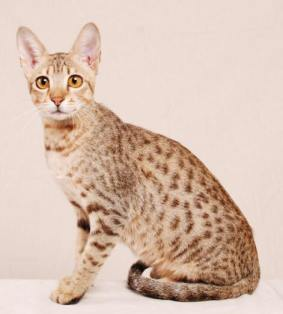 Hypoallergenic Cat from Allerca
