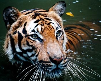Human Cat Tiger