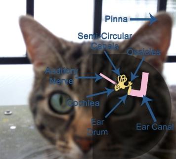 Cat Hearing: Manna's Ear Diagram