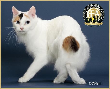 Japanese Bobtail 3 Cat Fancier's Association