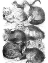 Victorian era cats - prize winners 1871