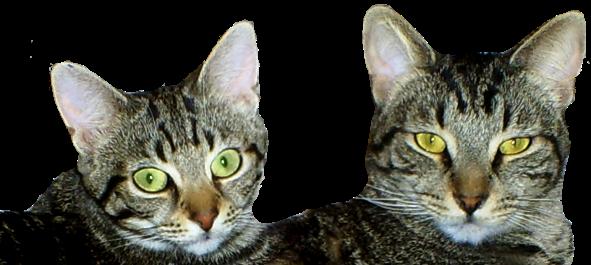 Kitty Cat Limericks Cinco and Manna Faces