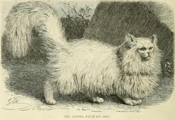 Persian Cats 1894 Richard Lydekker