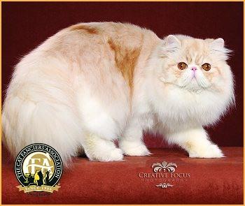 Persian Cat Cream CFA