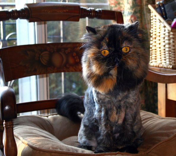 Persian Cats Lion Cut